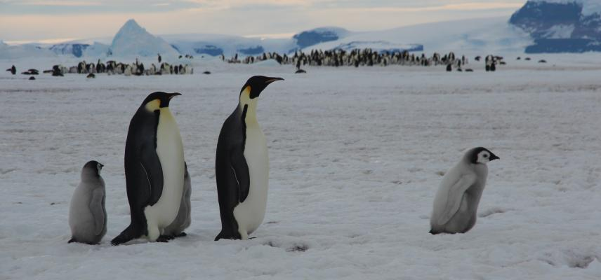 Parents and chicks at the Snow Hill Island Emperor penguin colony. (credit: Tom Hart - Penguin Watch)